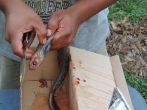 Vince George preparing lamprey for the barbeque